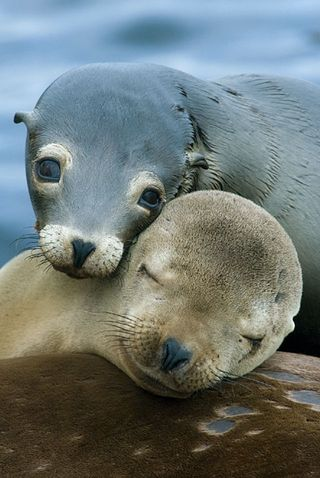 SeaLions_KevinSchafer_lg