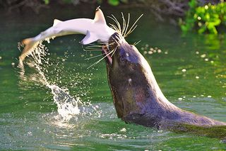 Sealion-eating-shark