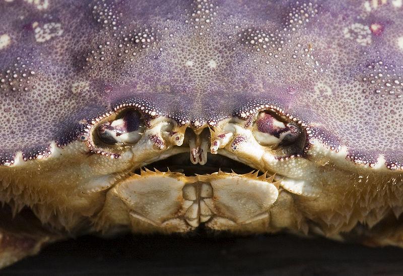 800px-Dungeness_crab_face_closeup