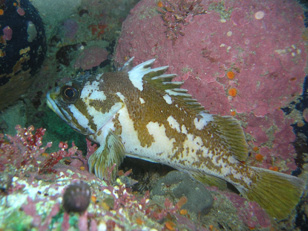 Gopher_rockfish