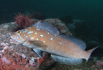 Kelp-greenling-male