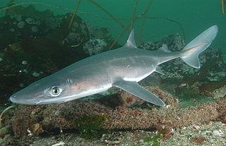 Spiny-dogfish-059