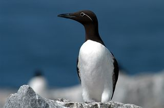 Common-Murre_C4420