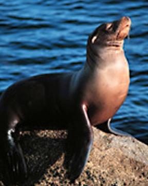 California_sea_lion