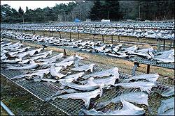 Shark-fins-13743-1