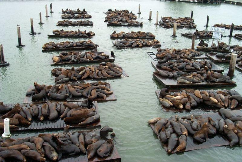 Sea_Lions_at_Pier39
