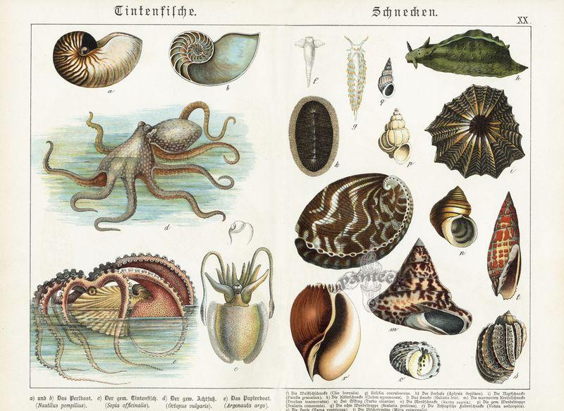 Abalone-Volute-Limpet-Nautilus-Shells-Octopus-Squid-SCB20