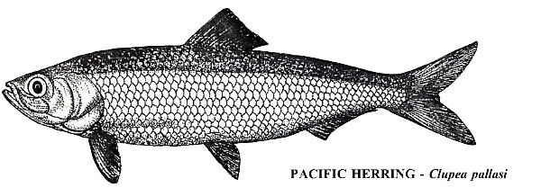 01_pacific_herring