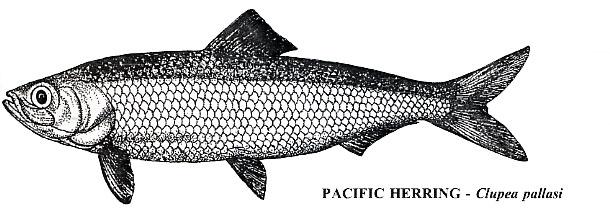 01_pacific_herring