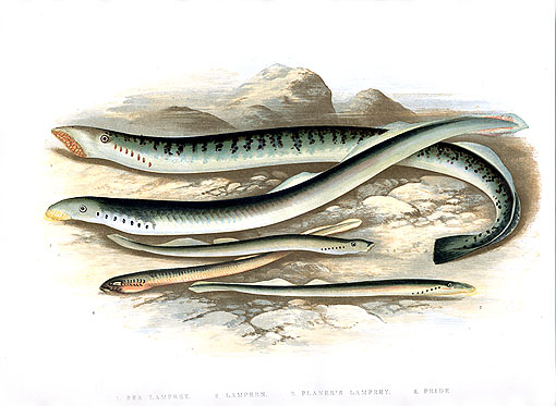 Hough.sea.lamprey