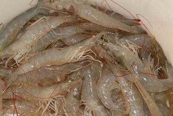 Resize_of_vanamei_shrimp_c4313cea2e5cb5ea23c4689404ec241e